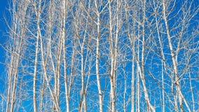 在蓝天背景的白扬树 免版税库存照片