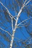 在蓝天背景的白桦 免版税库存图片