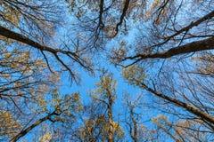 在蓝天背景的秋天森林里冠上树  免版税库存照片