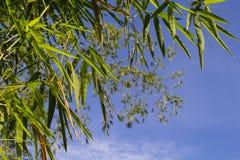 在蓝天背景的竹子叶子 在天空的竹叶子 亚洲自然禅宗照片背景 免版税图库摄影