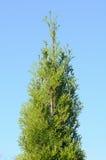 在蓝天背景的绿色金钟柏结构树 免版税库存图片