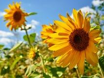 在蓝天背景的美丽的明亮的黄色向日葵 免版税库存图片