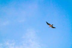 在蓝天背景的美丽的海鸥 库存照片