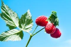 在蓝天背景的莓  图库摄影