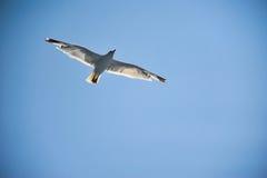 在蓝天背景的飞行海鸥 免版税图库摄影