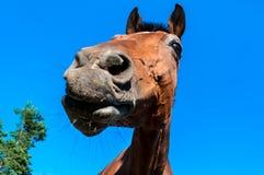 在蓝天背景的马头 库存图片