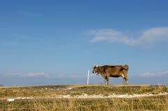 在蓝天背景的高山母牛  免版税库存照片