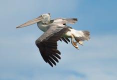 在蓝天背景的鹈鹕飞行 免版税库存照片