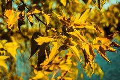 在蓝天背景的黄色秋叶特写镜头 免版税图库摄影