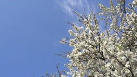 在蓝天背景的4月开花的李子 4K 股票视频