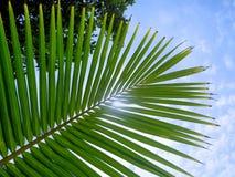 在蓝天背景的年轻椰子棕榈叶。 库存照片