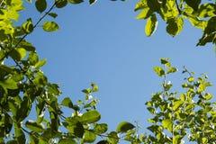 在蓝天背景的绿色叶子 免版税库存照片