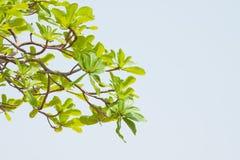在蓝天背景的绿色叶子 免版税图库摄影
