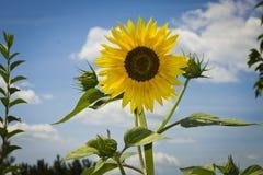在蓝天背景的黄色向日葵开花 库存照片