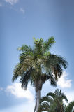 在蓝天背景的绿色棕榈树 库存照片