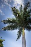在蓝天背景的绿色棕榈树 库存图片