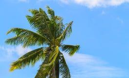 在蓝天背景的绿色椰树棕榈叶 棕榈树和多云蓝天照片 免版税库存照片