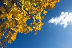 在蓝天背景的黄色槭树叶子 免版税库存图片