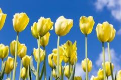 在蓝天背景的黄色郁金香 春季背景 免版税库存图片