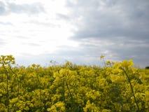 在蓝天背景的黄色领域 库存图片