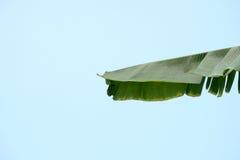 在蓝天背景的绿色香蕉叶子纹理 库存照片