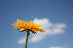 在蓝天背景的黄金菊花 免版税库存图片