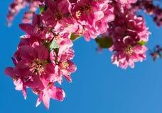 在蓝天背景,春天的桃红色开花苹果开花 免版税库存图片