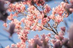 在蓝天自然框架下的桃红色瓣花 库存图片
