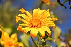 在蓝天,清迈泰国的黄色花blackground 免版税库存图片