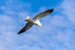 在蓝天,特写镜头照片的海鸥飞行 库存图片