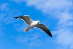 在蓝天,特写镜头照片的白色海鸥飞行 库存照片
