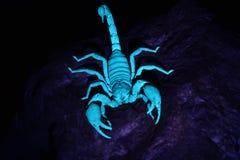 在蓝色光的蝎子 库存照片