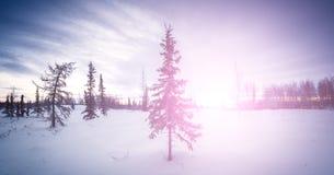 在蓝色口气的雪冬天森林里选拔新年杉树 免版税库存照片