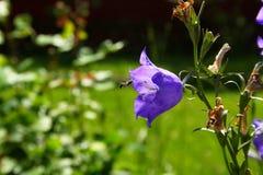 在蓝色吊钟花的蜂 图库摄影