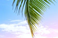 在蓝色和桃红色天空背景的蓬松棕榈叶 热带自然浪漫被定调子的照片 生动的椰树棕榈叶 库存照片