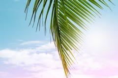 在蓝色和桃红色天空背景的蓬松棕榈叶 热带自然艺术性的被定调子的照片 生动的椰树棕榈叶特写镜头 库存图片