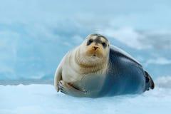在蓝色和白色冰的髯海豹在北极俄罗斯,与提起飞翅 免版税库存图片
