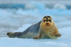 在蓝色和白色冰的髯海豹在北极斯瓦尔巴特群岛,与提起飞翅 免版税库存照片
