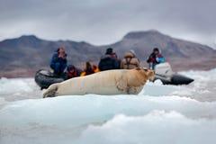 在蓝色和白色冰的髯海豹在北极斯瓦尔巴特群岛,挪威,有游人的汽船在背景中 库存图片