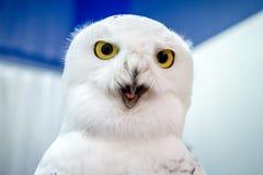 在蓝色和白色背景的滑稽的极性猫头鹰 免版税库存图片