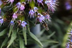在蓝色和紫色花的蜂着陆 图库摄影