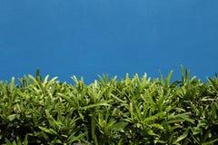 在蓝色墙壁上的绿色灌木 免版税库存图片