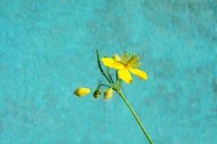 在蓝色墙壁背景的明亮的黄色花 库存图片