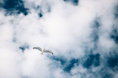 在蓝色多云天空背景的飞行海鸥 图库摄影