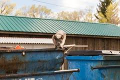 在蓝色大型垃圾桶的灰色猫 免版税库存照片
