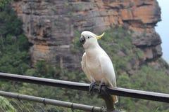 在蓝色山的美冠鹦鹉 免版税图库摄影