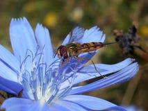 在蓝色开花的橘子果酱蝇 免版税库存照片
