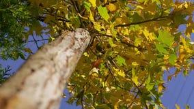 在蓝色无边的天空背景的底视图美丽的黄绿树在晴朗的秋天 影视素材