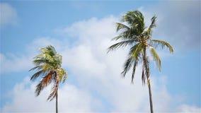 在蓝色晴朗的天空的两棵大棕榈树 股票录像