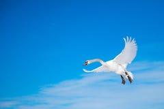 在蓝色晴朗的天空的空白天鹅飞行 库存图片